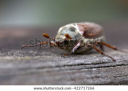 The Cockchafer in the Detail - stock photo