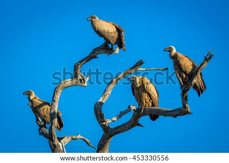 The collective noun for a group of vultures is a committee.  These were meeting on a dead tree in Kruger National Park