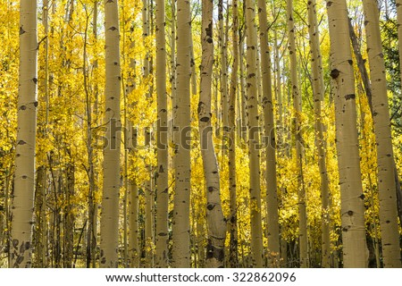 The Colorado Trail winds through a colorful Aspen grove in Autumn color in the Kenosha Pass. - stock photo