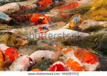 The colored carp which crowd round food