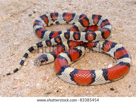 The colorful Central Plains Milk Snake, Lampropeltis triangulum gentilis, a coral snake mimic