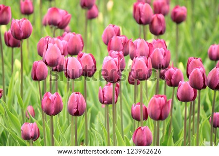 The colorful purple tulips blooming in a field - stock photo