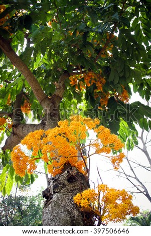 The colorful  Saraca flowers blooms in the summer season, Thailand