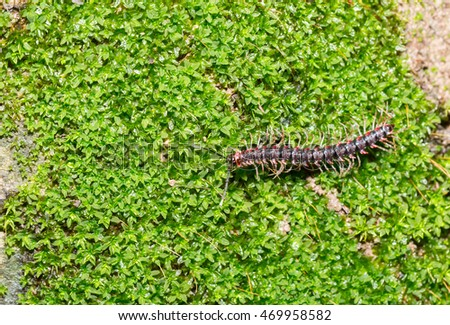 The colorful small centipede on ground.