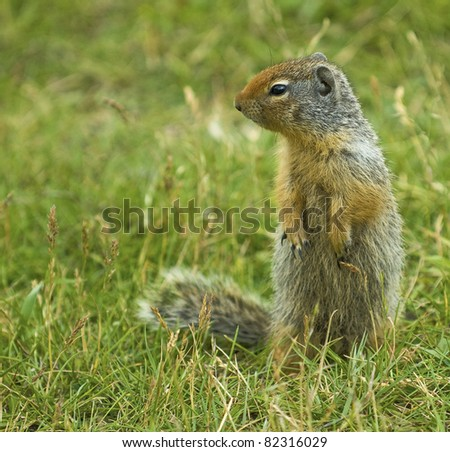 The Columbian Ground Squirrel. Seen in western Canada's Rocky Mountains. Very friendly and curious creatures. - stock photo