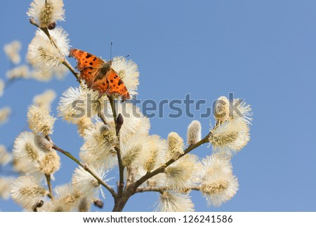 The Comma feeding on willow in spring - stock photo