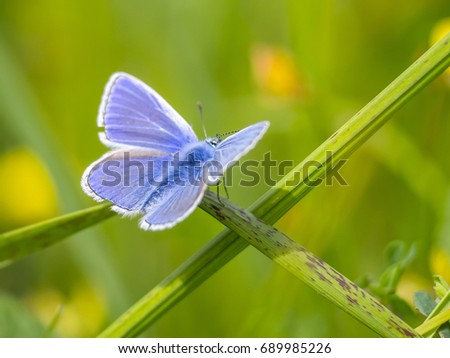 The Common Blue butterfly (Polyommatus icarus)
