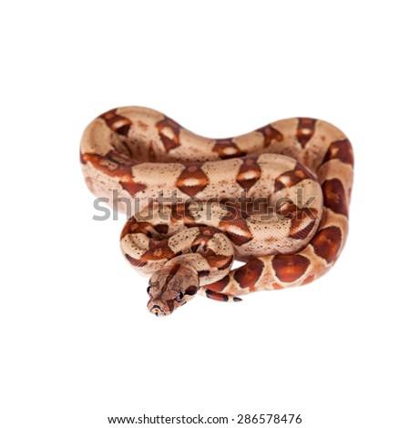 The common boa on white background - stock photo