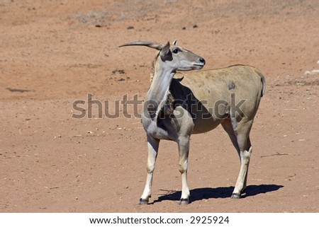 The Common Eland Antelope (Taurotragus oryx) of Africa