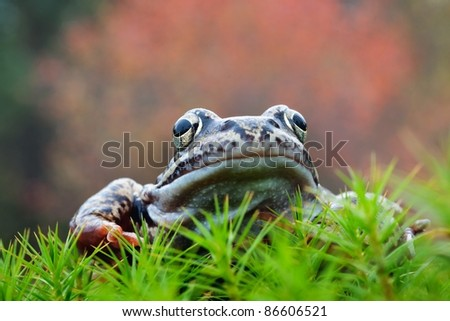 The Common Frog, Rana temporaria also known as the European Common Frog.