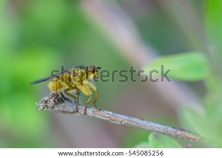 The common housefly (lat. Musca domestica) fruit fly (lat. Diptera) sitting on a branch