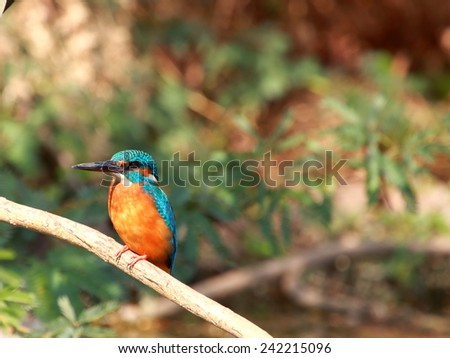 The Common Kingfisher (Alcedo atthis),Eurasian Kingfisher or river Kingfisher - stock photo
