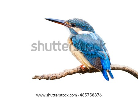 The Common Kingfisher (Alcedo atthis) on white background.