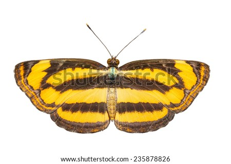 The common lascar butterfly on white with clipping path