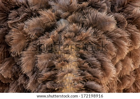 The Common Ostrich feather