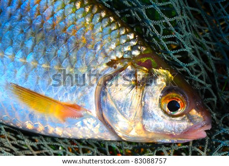 The Common Roach (Rutilus rutilus) on a fishing net. - stock photo