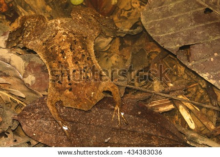 The common Suriname toad or star-fingered toad is a species of frog in the Pipidae family found in Bolivia, Brazil, Colombia, Ecuador. - stock photo