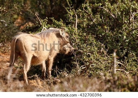 The common warthog is a wild member of the pig family found in grassland, savanna, and woodland in sub-Saharan Africa. - stock photo