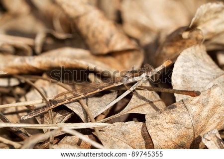 The Common Winter Damselfly, Sympecma fusca, camouflaged between twighs and leaves - stock photo