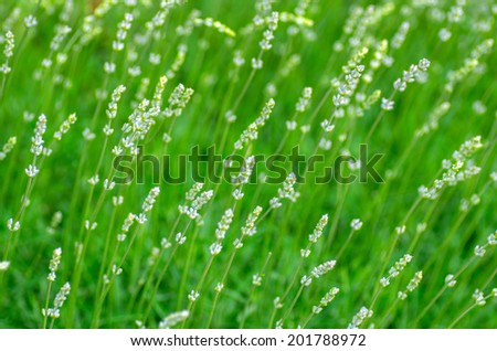The composition of the green shoots of lavender. natural composition - stock photo