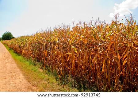 The Corn field - stock photo