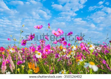 The Cosmos Flower of grassland - stock photo