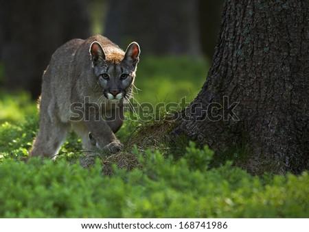 The cougar (Puma concolor) - stock photo