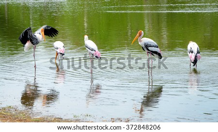 The courtship behavior Of Painted Stork (Mycteria leucocephala) in nature. - stock photo