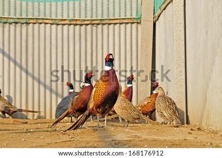 The courtyard pheasant - stock photo