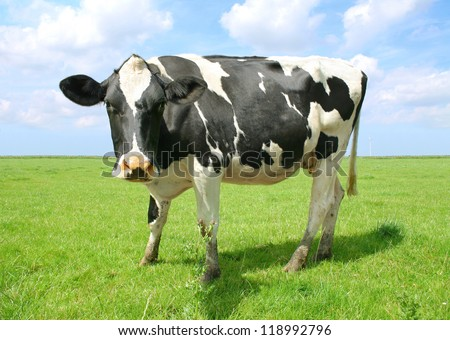 The cow in the green - stock photo