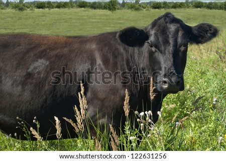 The cow in the meadow - stock photo