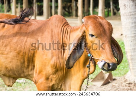 the cow in the pasture in rural thailand
