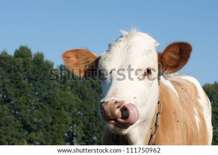 The cow licked against the background of green trees and blue sky - stock photo
