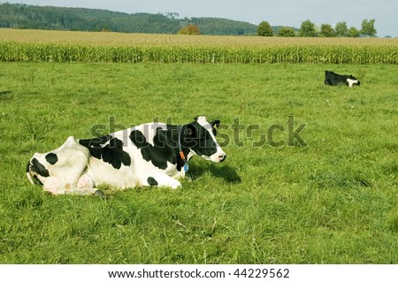 The cow  lie in a meadow ( Bos taurus taurus ). - stock photo