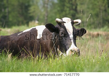 The cow lies on a meadow - stock photo