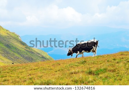 The cow on a mountain pasture