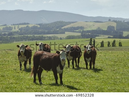 the cows - stock photo