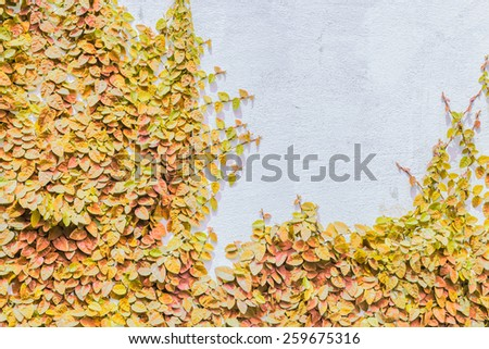 The Creeper Plant on the White Wall, Autumn - stock photo