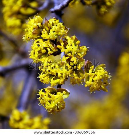 the Crimean spring flowers dogwood - stock photo