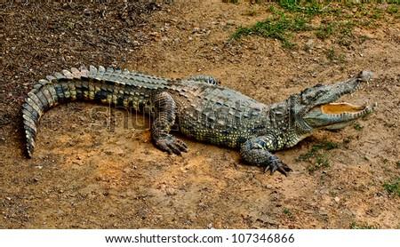 The Crocodile - stock photo