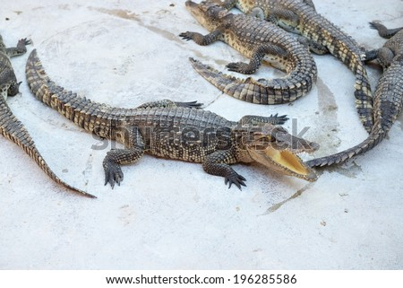 The crocodile in crocodile farm in Thailand - stock photo