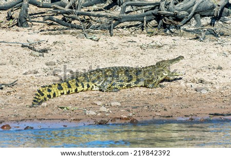 The crocodile lying on the banks of the Chobe river in national park Chobe, Botswana, South-Western Africa - stock photo