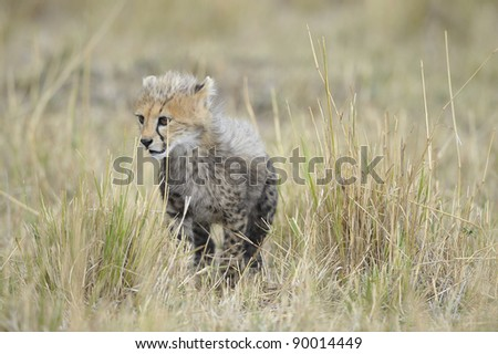 The cub cheetah (Acinonyx jubatus) costs against a yellow grass - stock photo
