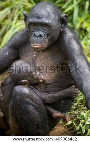 The  cub of chimpanzee  Bonobo ( Pan paniscus) on a breast of the nursing Mother. Portrait close up. Democratic Republic of Congo. Africa      - stock photo