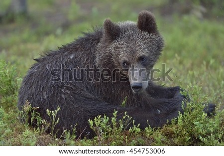 The cub of  wild brown bear (Ursus arctos) in a summer forest. Natural green background.