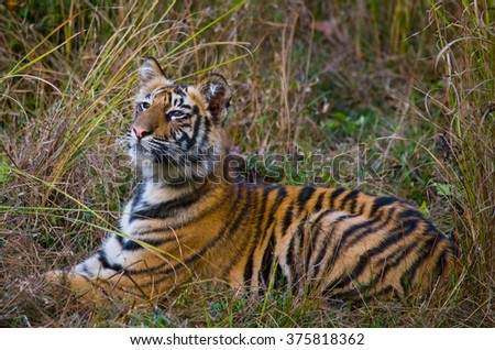 The cub wild tiger lying on the grass. India. Bandhavgarh National Park. Madhya Pradesh. An excellent illustration.