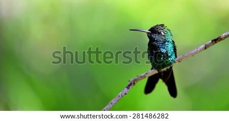 The Cuban Emerald on the branch. Cuban Emerald Hummingbird (Chlorostilbon ricordii), Cienaga de Zapata, Cuba - stock photo