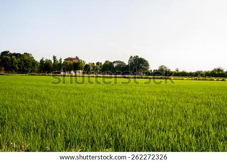 The cultivation of rice , Po Valley , Novara , Piedmont , Italy - stock photo