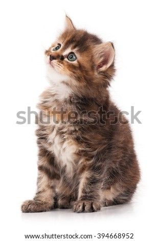 The curious little siberian kitten over white background - stock photo