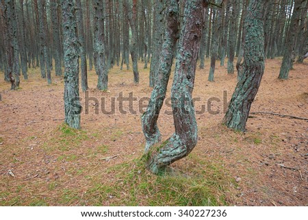 The Curonian Spit, dancing forest. Kaliningrad region
